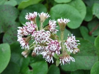 Petasites pyrenaicus (= Petasites fragrans) - héliotrope d'hiver Dscf2311