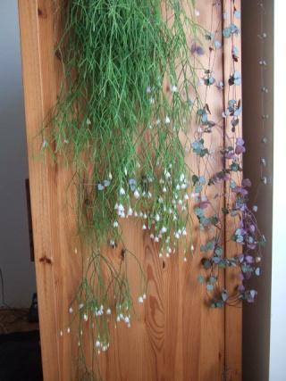 Rhipsalis campos-portoana (supposé) Dscf2710