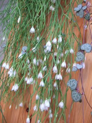 Rhipsalis campos-portoana (supposé) Dscf2711