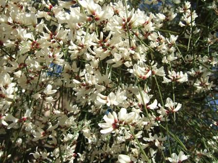 Retama monosperma - genêt blanc Dscf3013