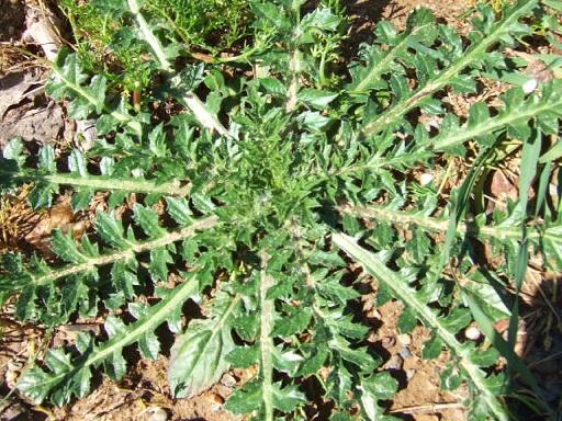 Carthamus lanatus - carthame laineux Dscf3114