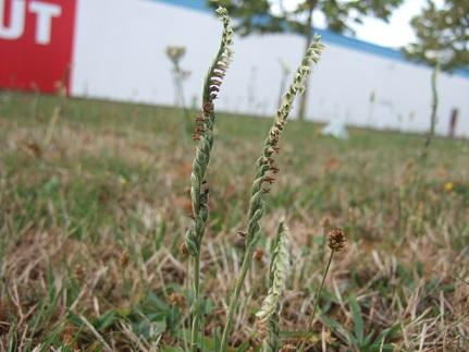 Spiranthes spiralis - spiranthe d'automne Dscf3210