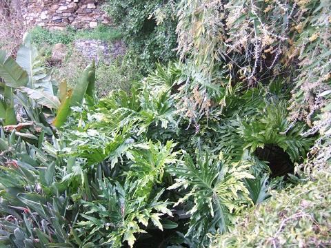 Philodendron bipinnatifidum - selloum Dscf3310