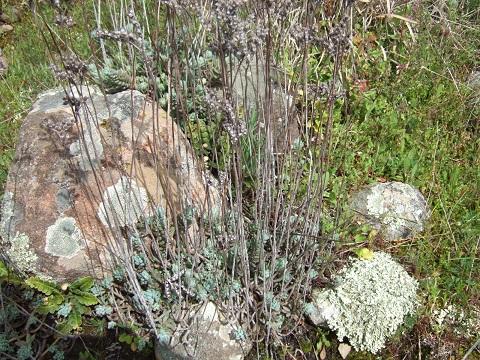 Petrosedum sediforme (ex Sedum) - orpin de Nice Dscf3610