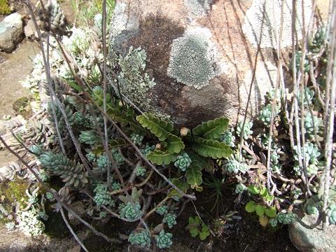 Petrosedum sediforme (ex Sedum) - orpin de Nice Dscf3611