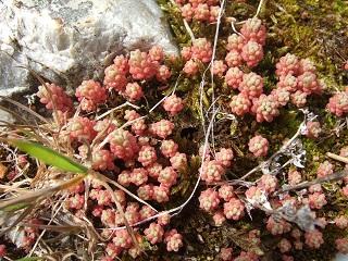 Sedum rubens - orpin rougeâtre Dscf4310