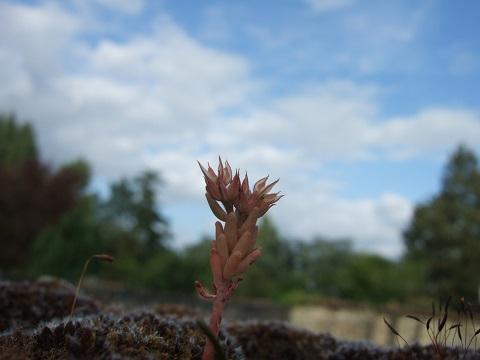Sedum rubens - orpin rougeâtre Dscf5510