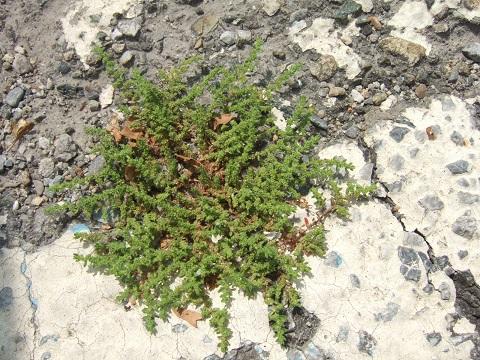 Herniaria hirsuta - herniaire hérissée Dscf6111