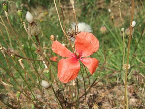 Papaver dubium subsp. dubium - pavot douteux Dscf6410
