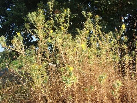 Carthamus lanatus - carthame laineux Dscf6418