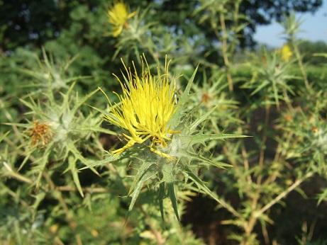 Carthamus lanatus - carthame laineux Dscf6420