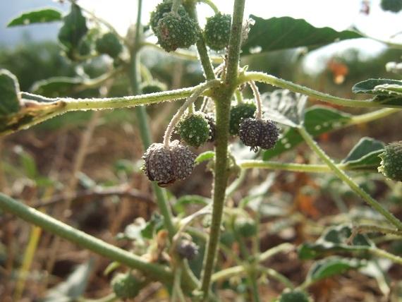 Chrozophora tinctoria - tournesol des teinturiers, maurelle Dscf6911