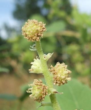 Xanthium orientale subsp italicum - lampourde d'Italie Dscf6921