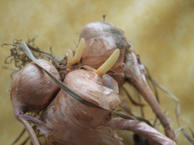 Crocus sativus - culture du vrai safran  - Page 2 Dscf7211