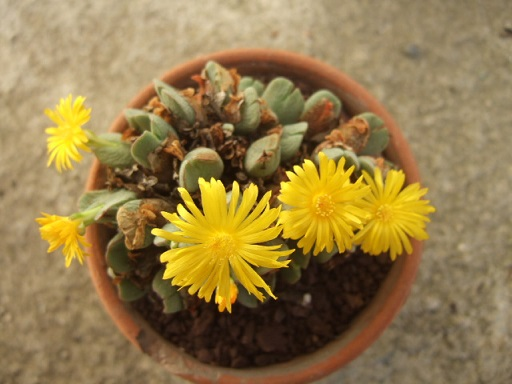 petites Aizoaceae - floraisons d'octobre-novembre Dscf7215