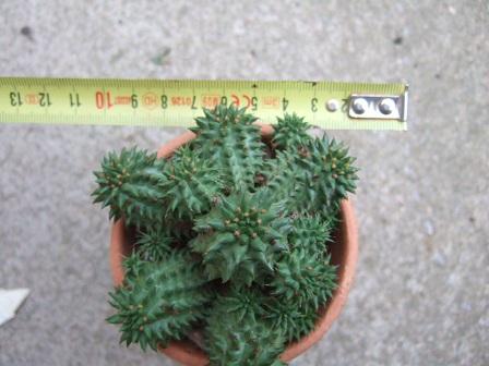 Euphorbia suzannae - Page 2 Dscf7217