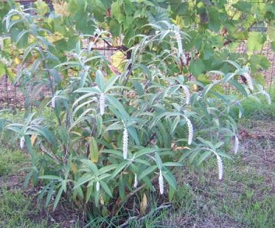 Rostrinucula dependens - menthe en arbre Dscf7229