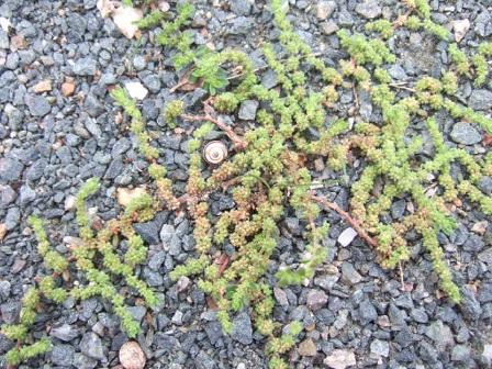 Herniaria hirsuta - herniaire hérissée Dscf7231