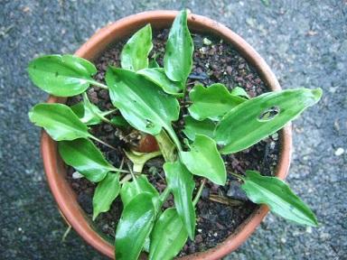 Drimiopsis maculata (= Ledebouria petiolata) Dscf7311
