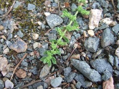 Herniaria hirsuta - herniaire hérissée Dscf7312