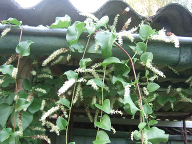 Anredera cordifolia = Boussingaultia baselloides - boussingaultie Dscf7315