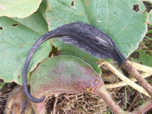 Proboscidea louisianica - griffe du diable Dscf7317