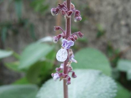 Plectranthus argentatus Dscf7417