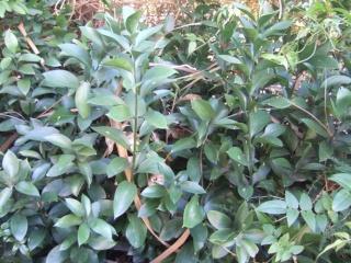 Ruscus hypophyllum Dscf7720