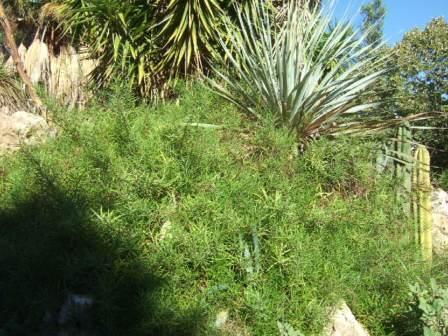 Lobelia laxiflora Dscf7727