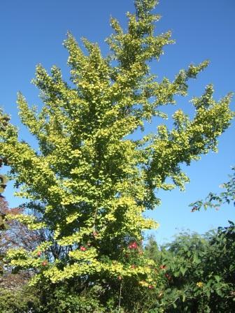 Ginkgo biloba - arbre aux quarante écus Dscf7728
