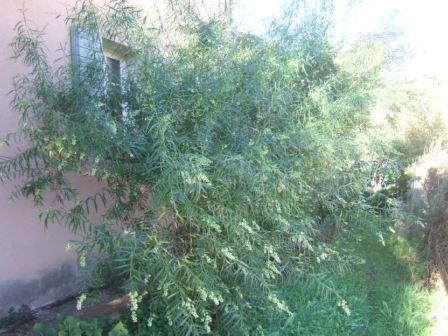 Freylinia lanceolata Dscf7749