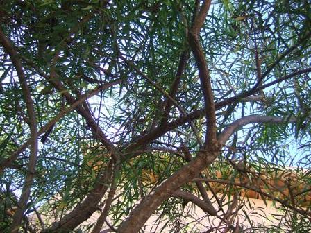 Freylinia lanceolata Dscf7750