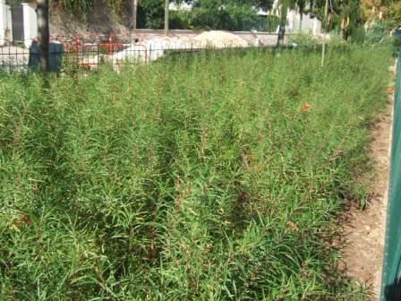 Lobelia laxiflora Dscf7810