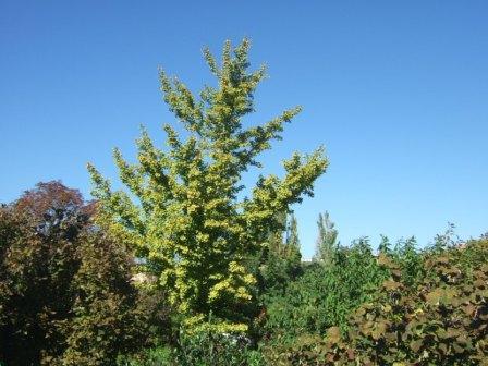 Ginkgo biloba - arbre aux quarante écus Dscf7811