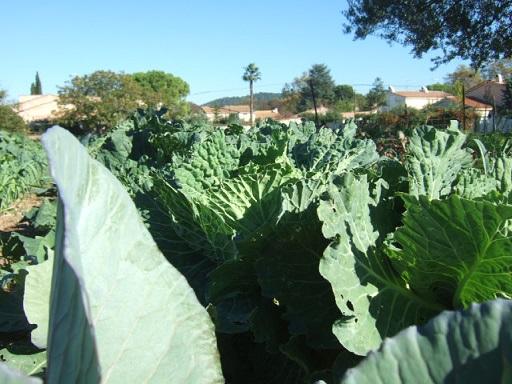légumes du jardin Dscf7812