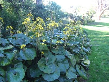 Farfugium japonicum (= Ligularia kaempferi) - Page 2 Dscf7823