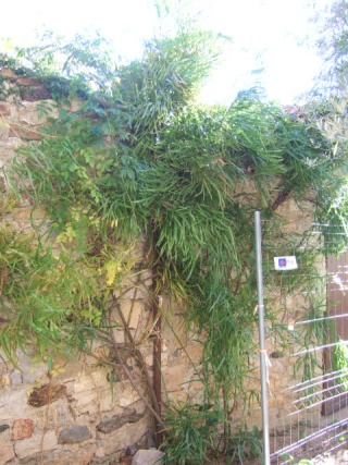 Homalocladium platycladum Dscf7922