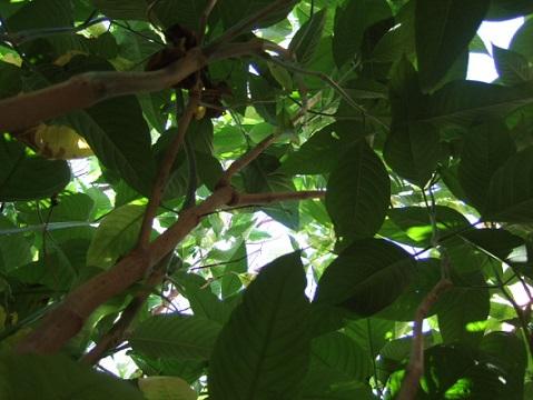 Justicia adhatoda (= Adhatoda vasica) - carmentine en arbre Dscf7926