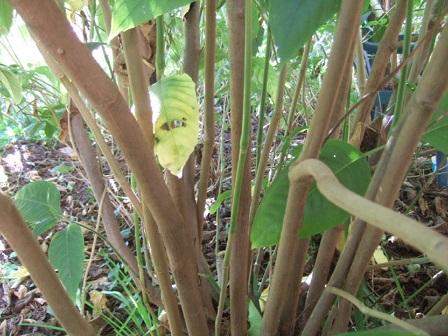 Justicia adhatoda (= Adhatoda vasica) - carmentine en arbre Dscf7927