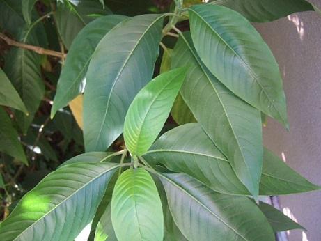 Justicia adhatoda (= Adhatoda vasica) - carmentine en arbre Dscf7928