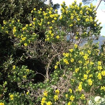 genista - Genista linifolia, Medicago arborea, Anthyllis barba-jovis [devinette] Dscf7938