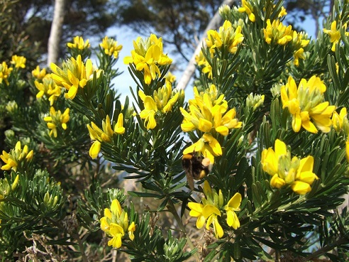 genista - Genista linifolia, Medicago arborea, Anthyllis barba-jovis [devinette] Dscf7939