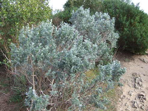 genista - Genista linifolia, Medicago arborea, Anthyllis barba-jovis [devinette] Dscf7940