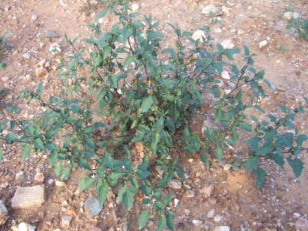 Solanum villosum - morelle velue, morelle jaune Dscf8018