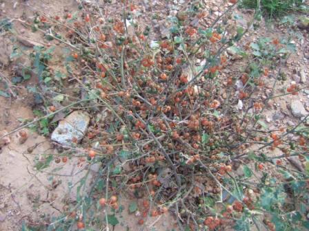 Solanum villosum - morelle velue, morelle jaune Dscf8020