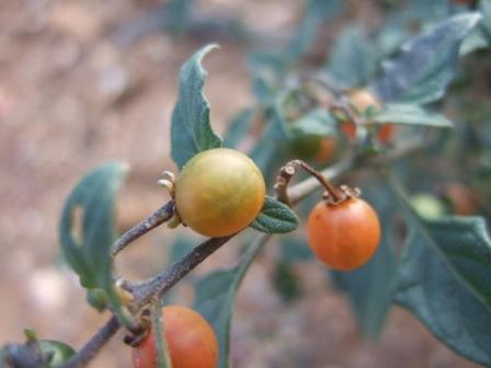 Solanum villosum - morelle velue, morelle jaune Dscf8021