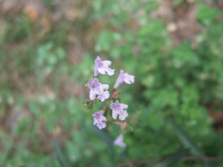 Clinopodium nepeta - petit calament Dscf8023