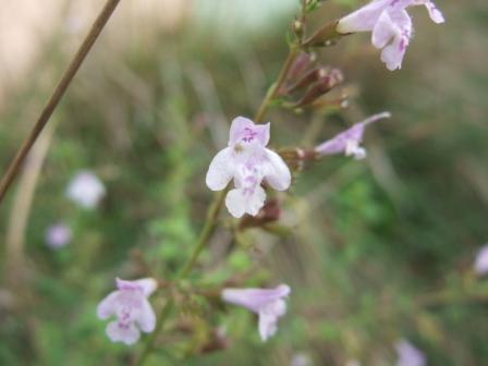 Clinopodium nepeta - petit calament Dscf8024