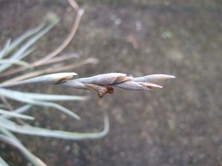 Tillandsia caliginosa Dscf8035