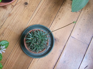 Aloe descoingsii x hawortioides Dscf8042